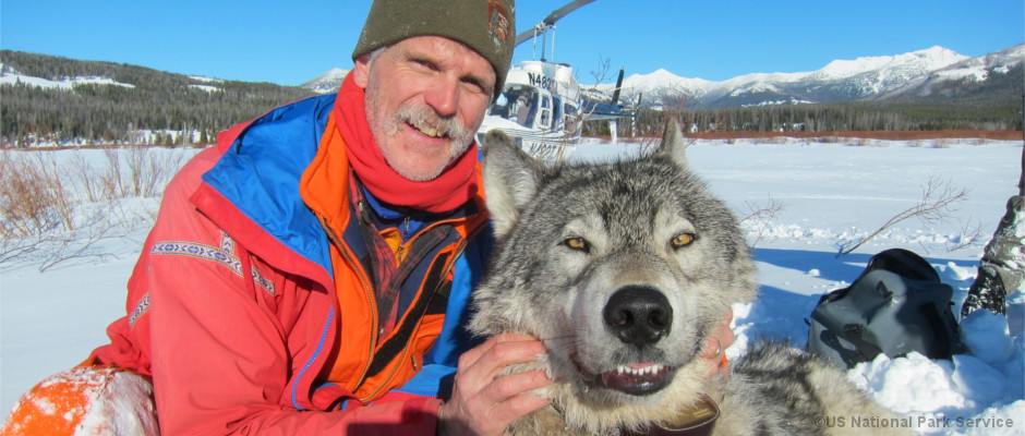 Wildbiologe Douglas Smith mit einem Wolf im Yellowstone National Park
