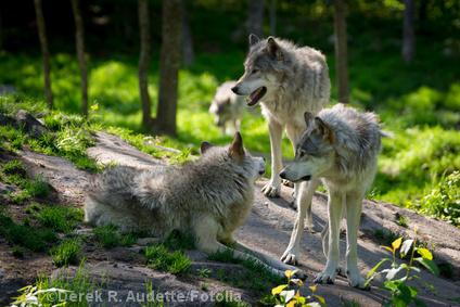 Wolfsfamilie in Kanada