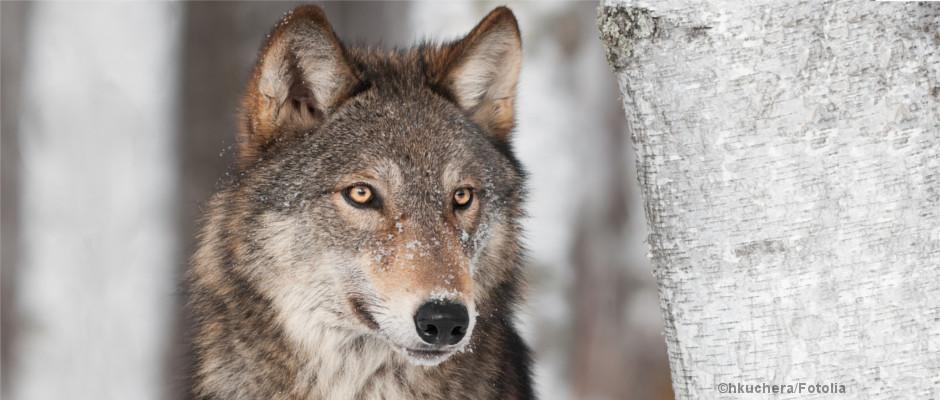 Ein Wolf neben einer Birke