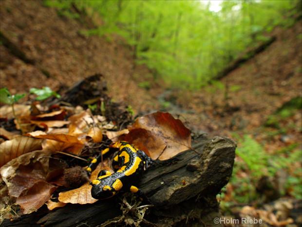 Feuersalamander im Laubwald
