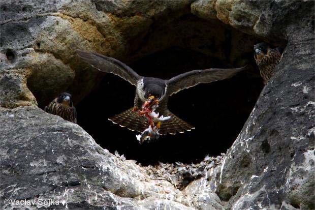 Rozdělení úkolů během hnízdění není tak pevné jako u jiných ptačích druhů. Při výchově a krmení mláďat se střídají oba rodiče. (Foto: Václav Sojka)