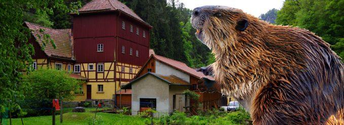 Biber vor dem Gasthaus Buschmühle