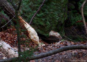 Typische Fraßspur eines Bibers, angenagter Baumstamm