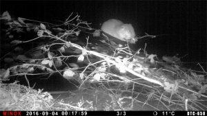 Nachtfoto von schwimmendem Biber, Wildkamera