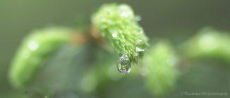 Regentropfen an einem Fichtenzweig