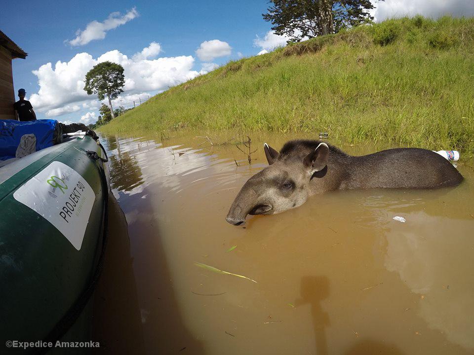 Tapir in Ufernähe