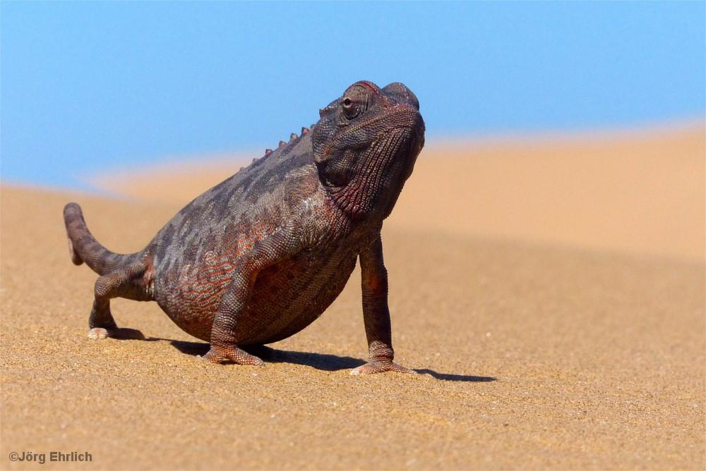 Chamäleon auf Sanddüne