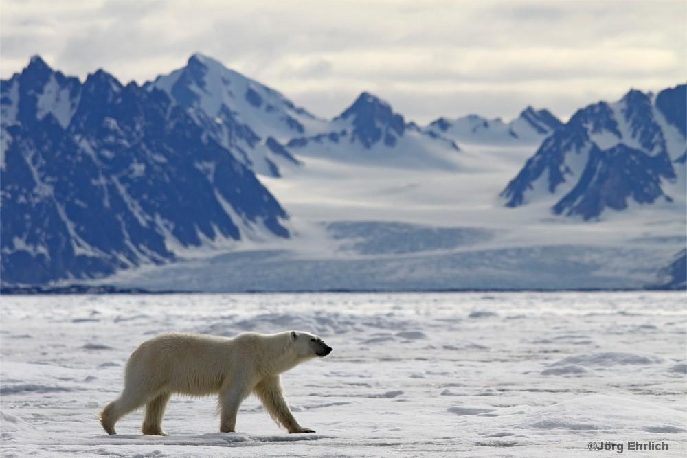 Eisbär vor Gletscherlandschaft