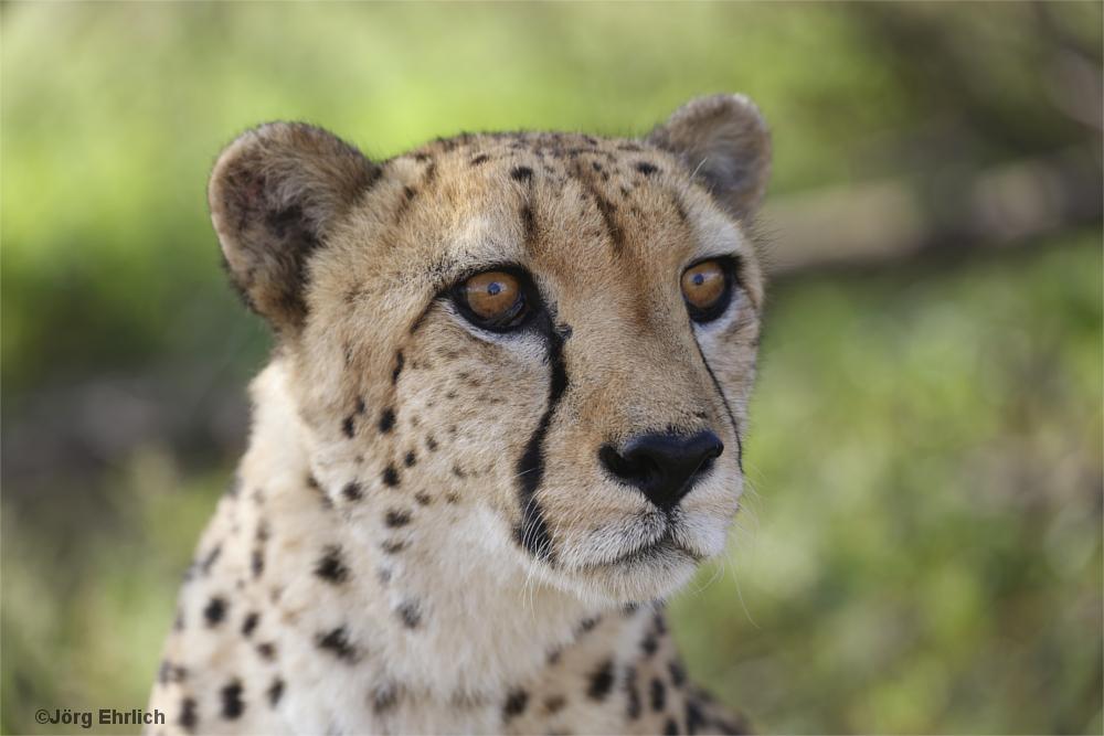 Gepardenprotrait