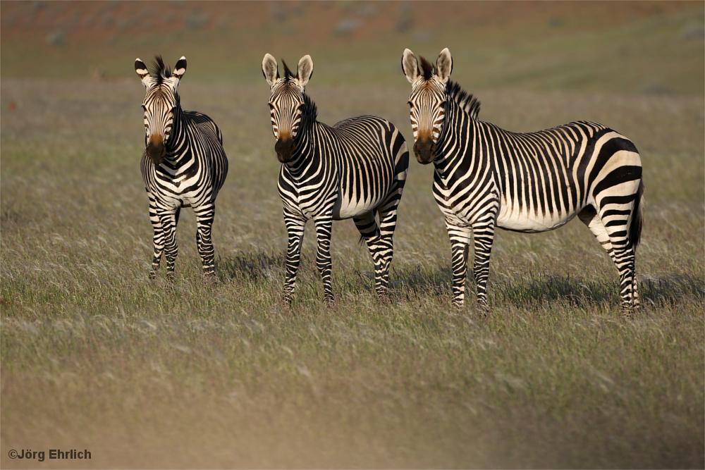 Zebras im Detail, Damaraland