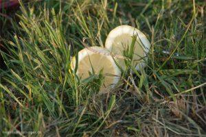 Zwei Zitronenhälften im Gras