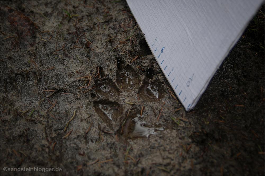 Wolfsspur
