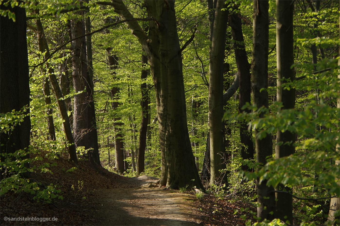 Wanderweg durch lichten Buchenwald