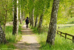 Ein schmaler Weg zwischen Birken und ein einsamer Wanderer.