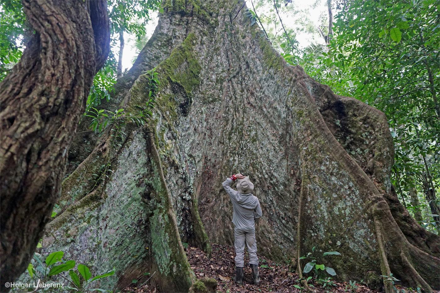 Mann steht vor der gigantischen Wurzel eines Dschungelriesen