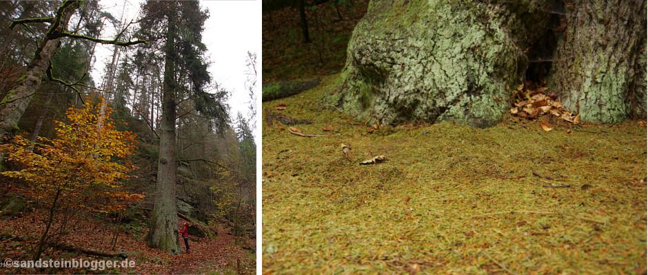 Abschied von Sachsens größtem Baum